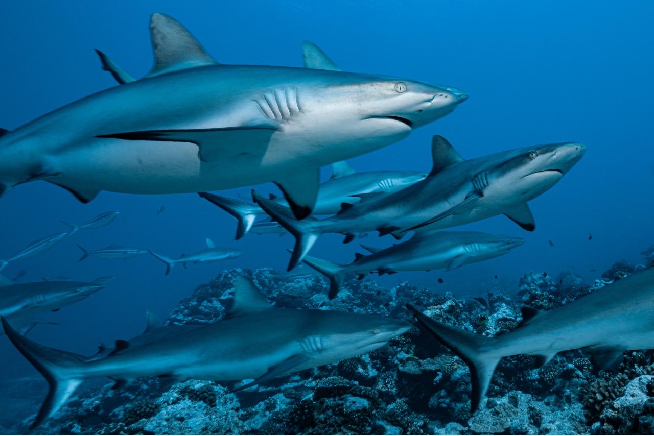Ballet de requins gris en Polynésie française